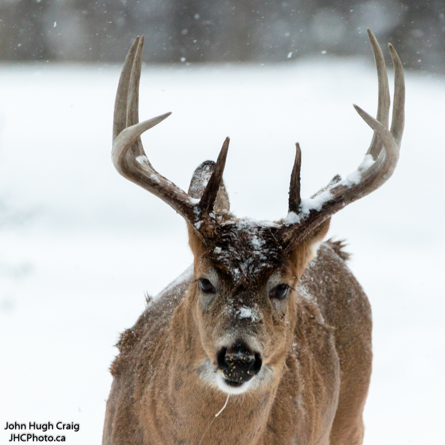Buck Deer in the Snow