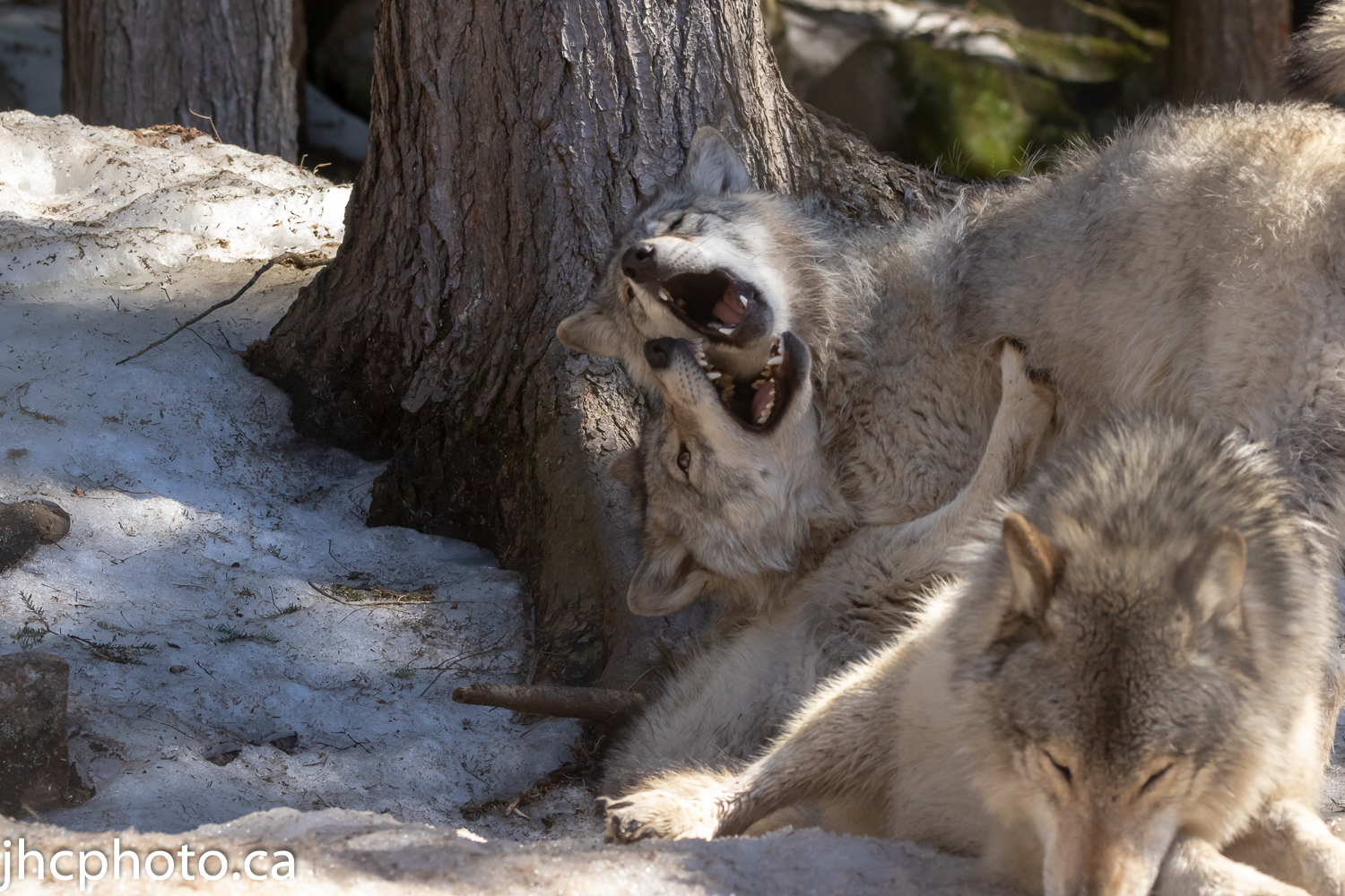 Young timber wolves playing.