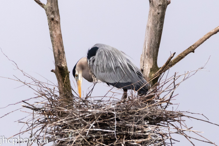Female Heron Watching Over Eggs in Nest