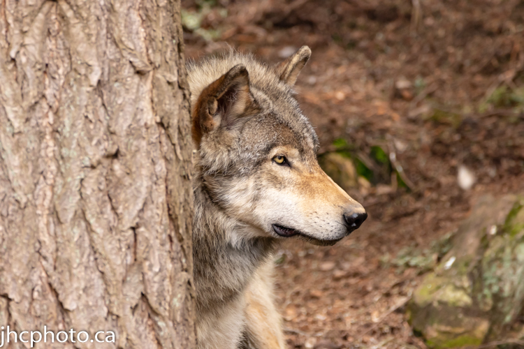 Timber Wolf Peaking Out