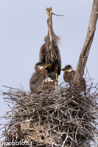 Baby Great Blue Herons in Rookery