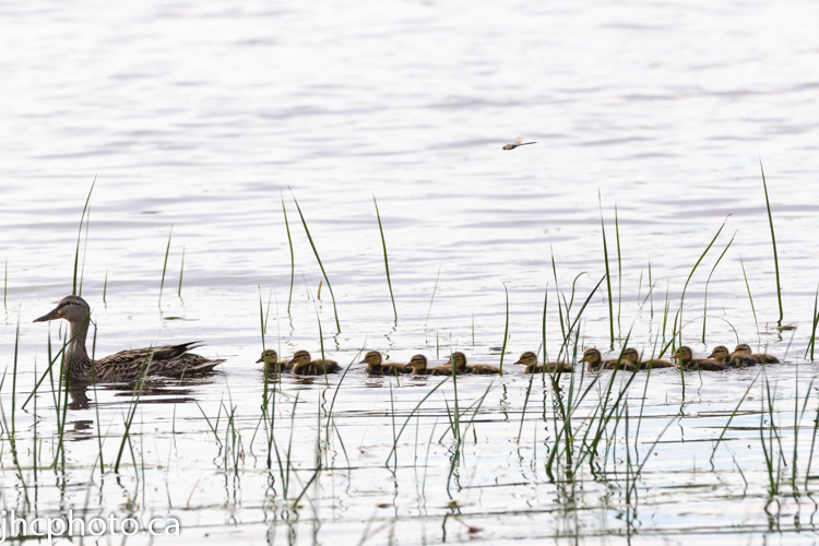 Mother and her 11 Ducklings