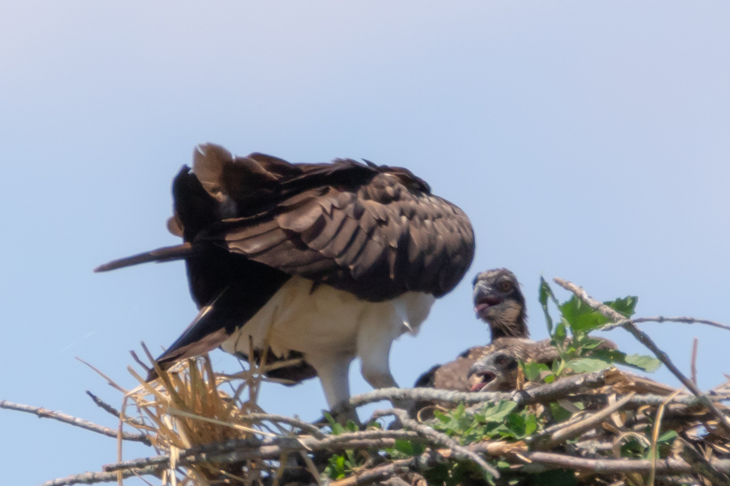 Baby Osprey Spotted