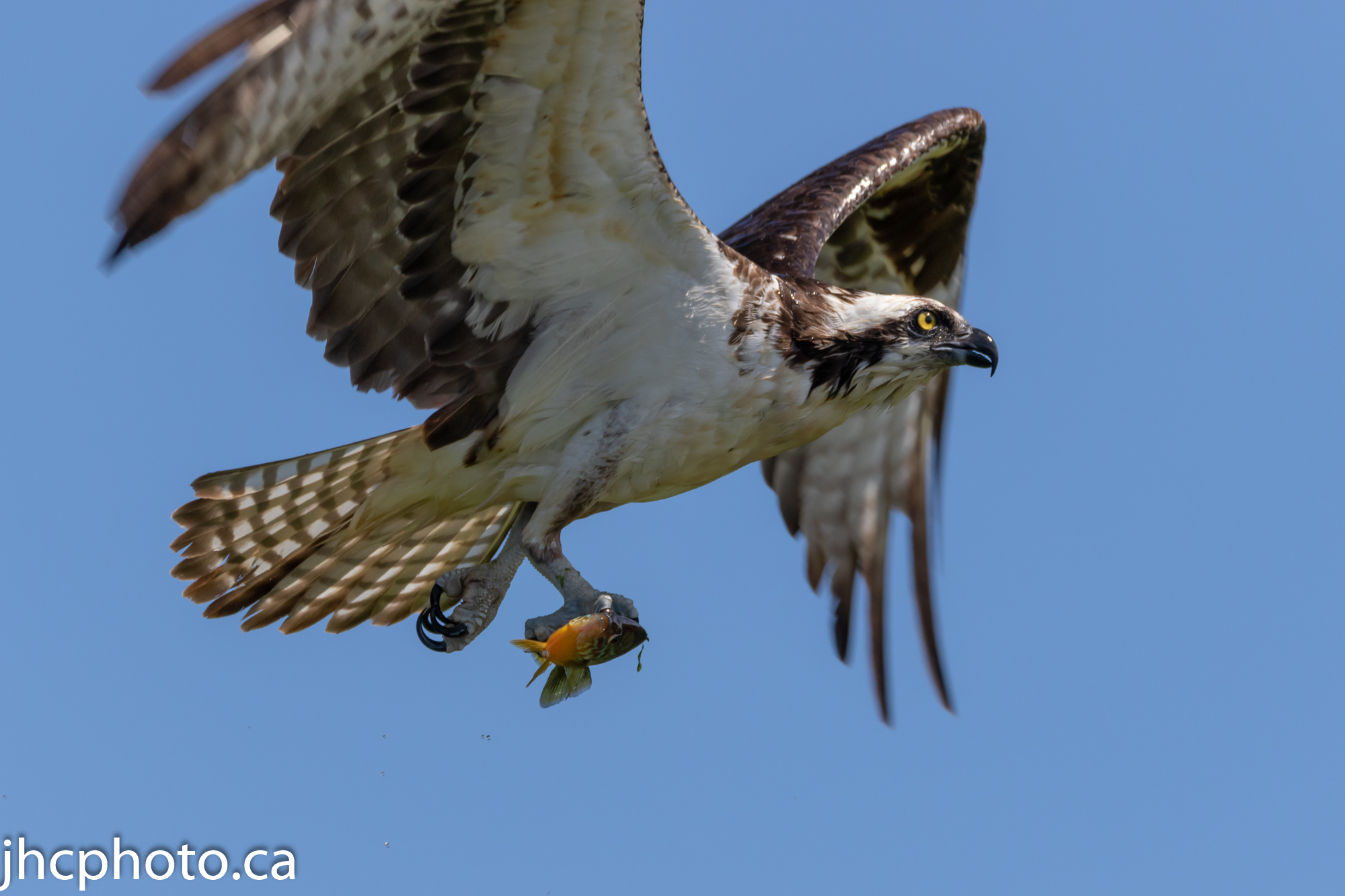 Osprey Catches Fish