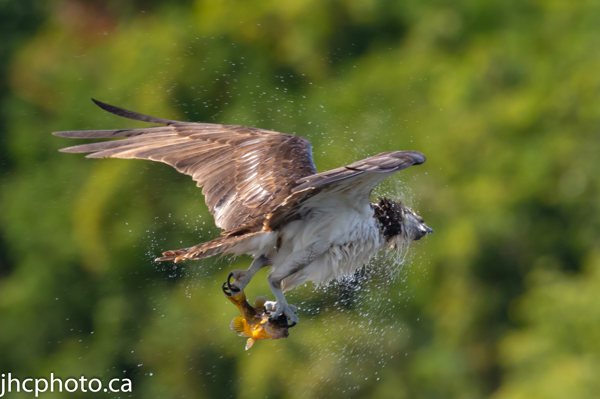 Osprey Shakes Off Water