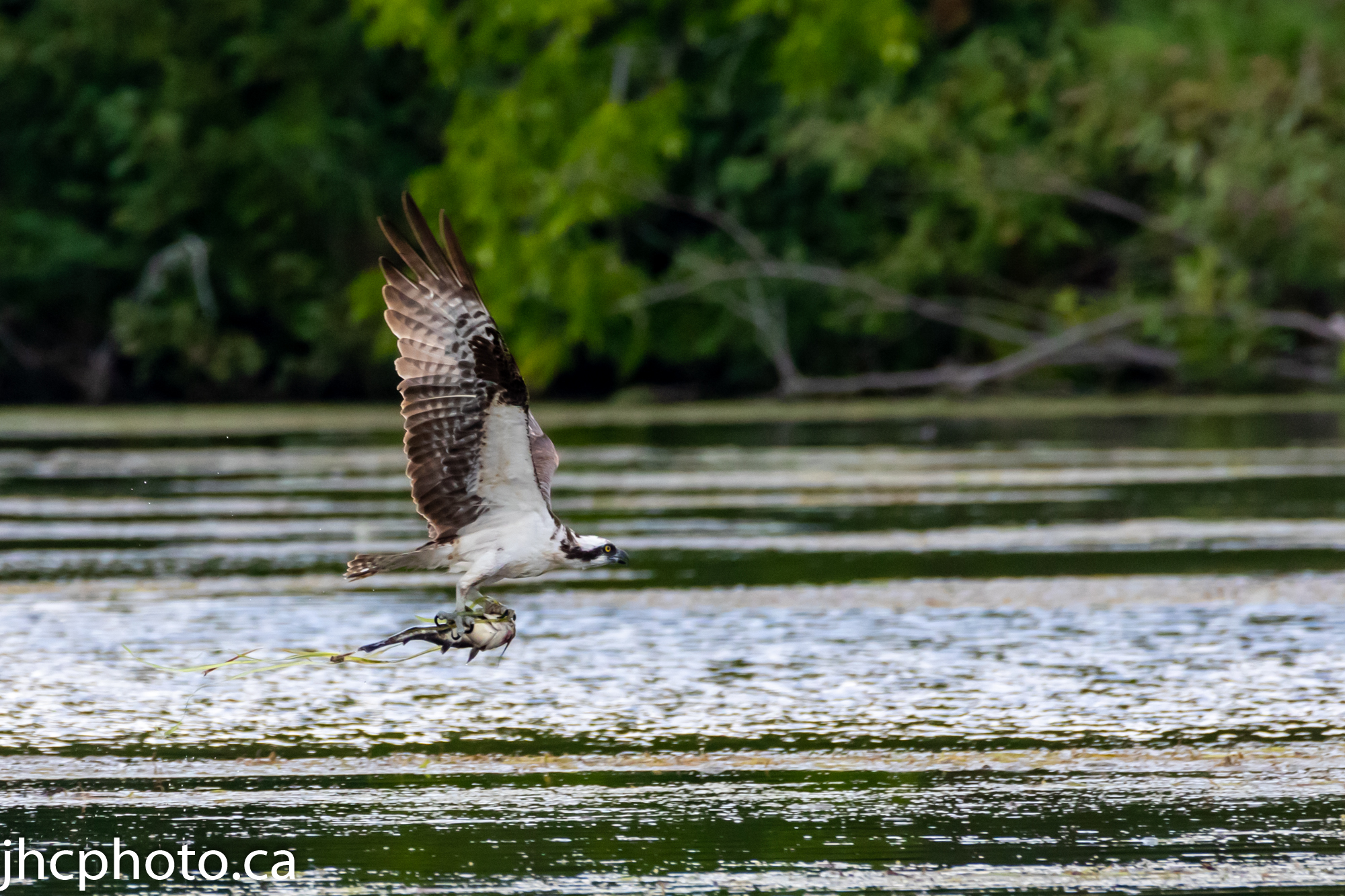Osprey Catches Dinner