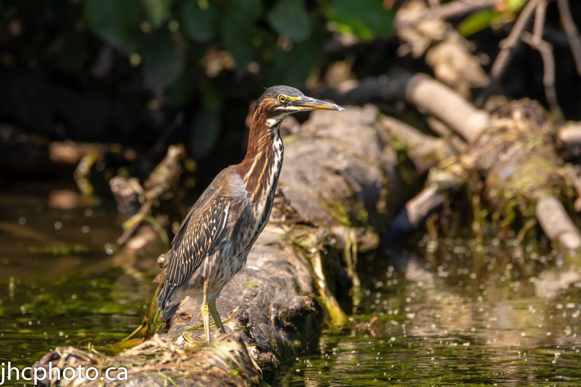 Green Heron on Log