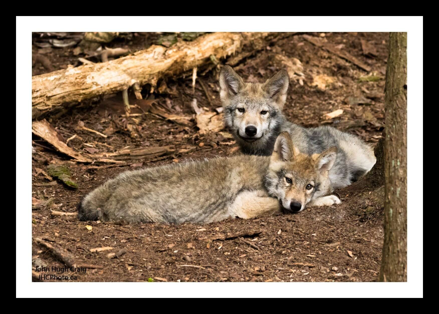 Wolf Pups in the Woods
