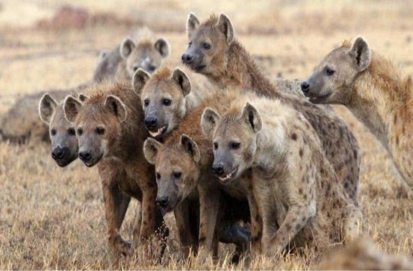 Hyenas (LI-Augurs of Spring 4.25.19).jpg