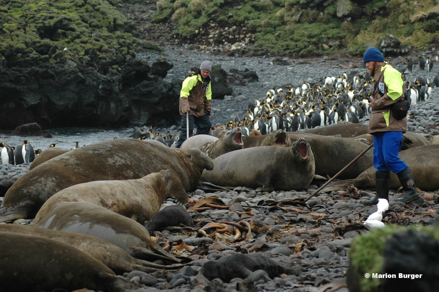 Cheryl Tosh and Nico de Bruyn checking elephant seals for flipper tags during a breeding season census. Photo credit: Marion Burger
