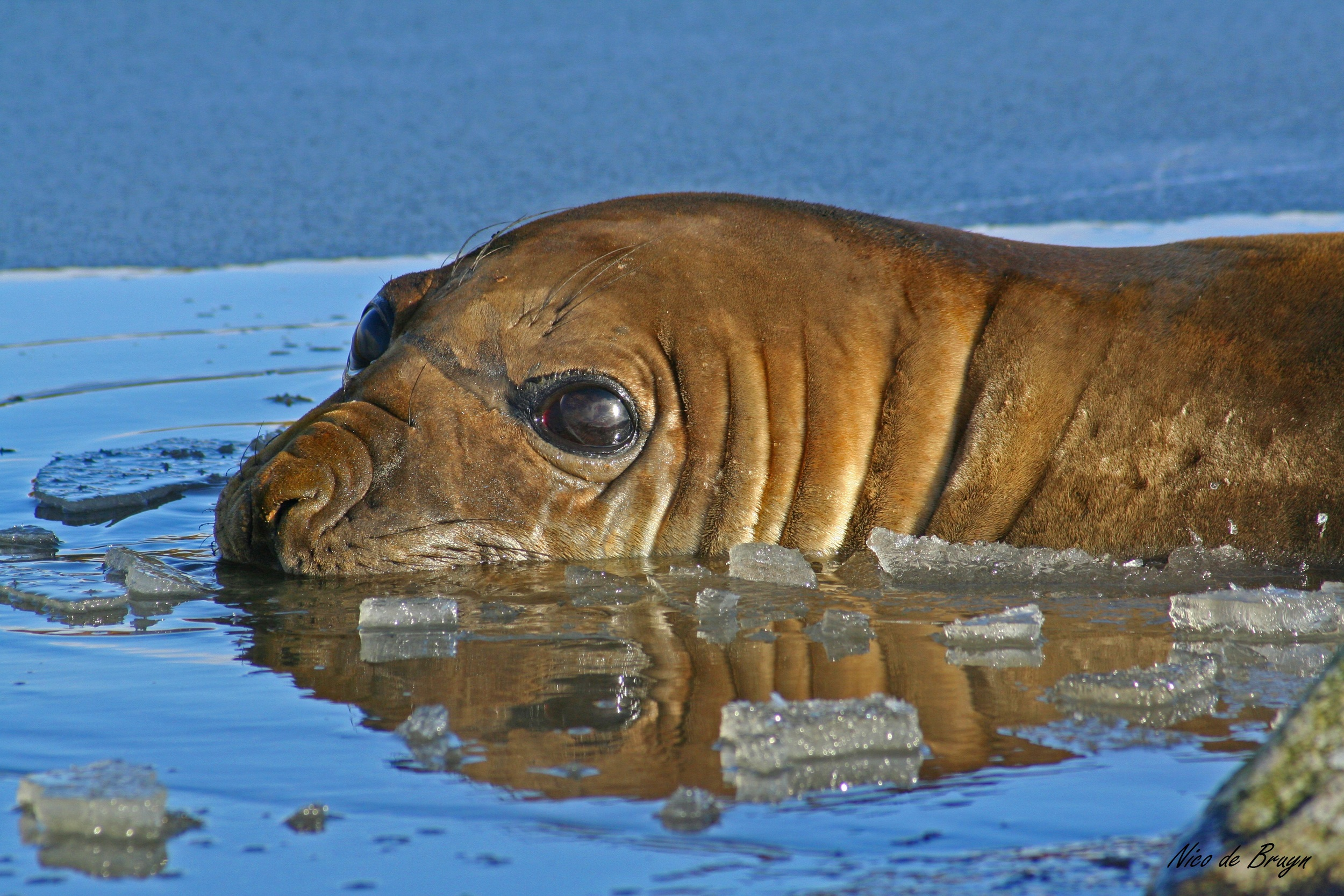 SEMIFINALIST-NdeBruyn_Cat6_seal frozen lake.jpg
