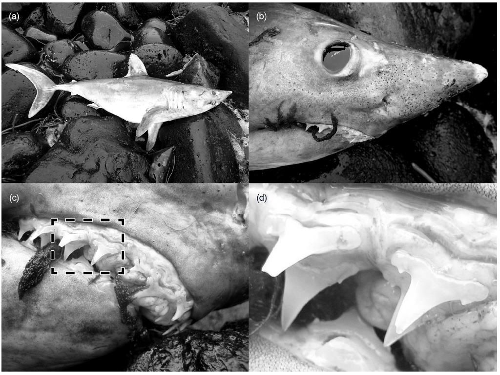 A Porbeagle shark washed out on a beach at Marion Island. Report published in  Marine Biodiversity Records .