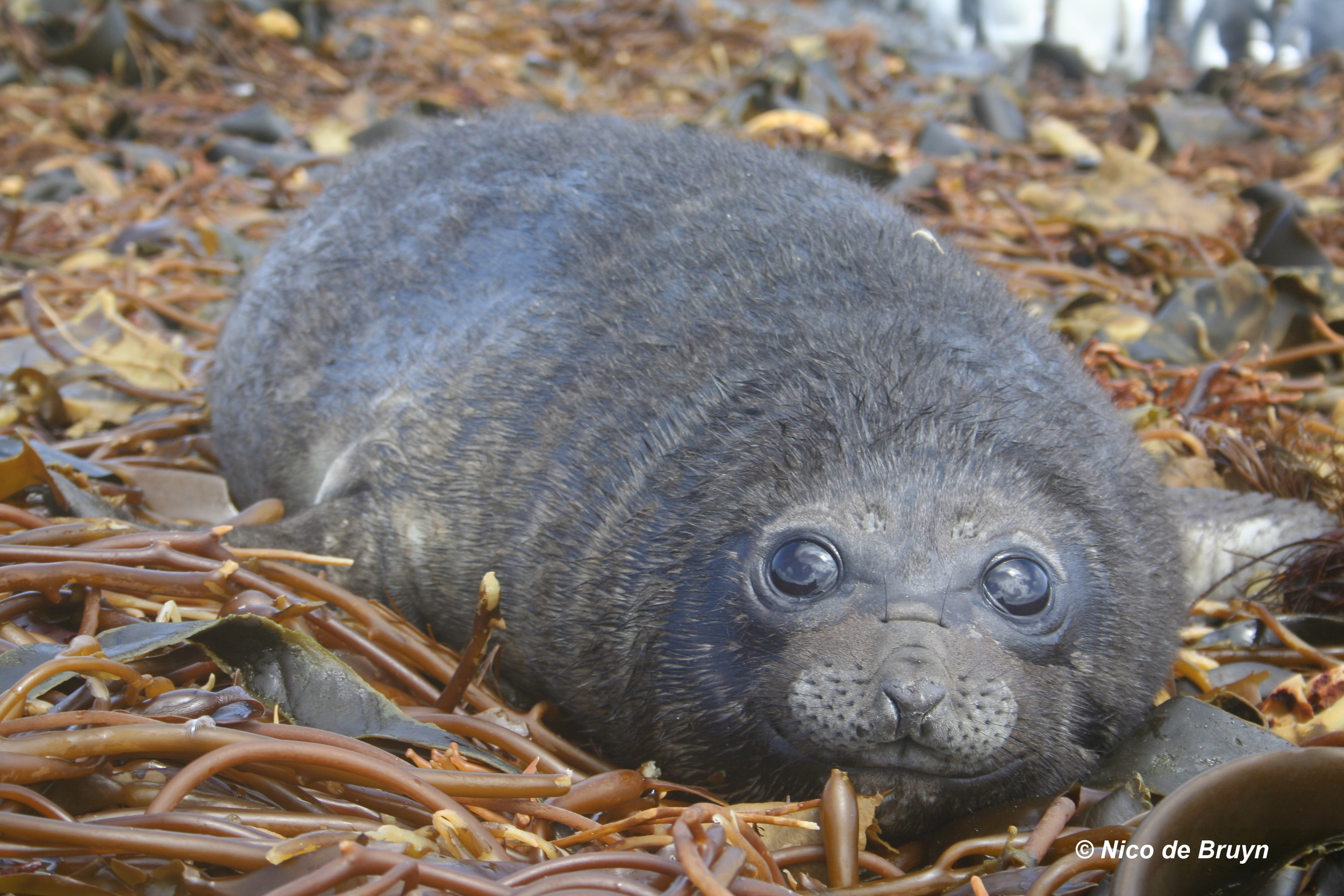 An almost weaned southern elephant seal pup at Marion Island