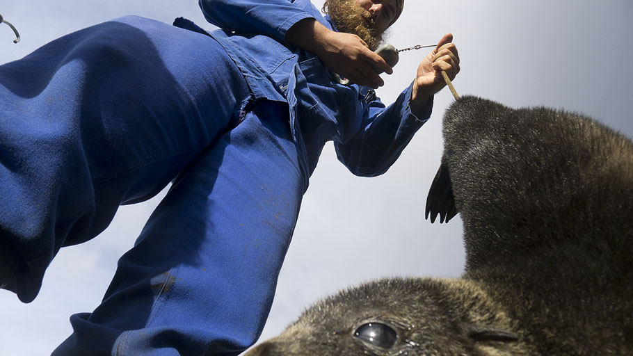 Sealer Christiaan Conradie weighing an Antarctic fur seal (Arctocephalus gazella) pup at Marion Island. © Ryan Reisinger.