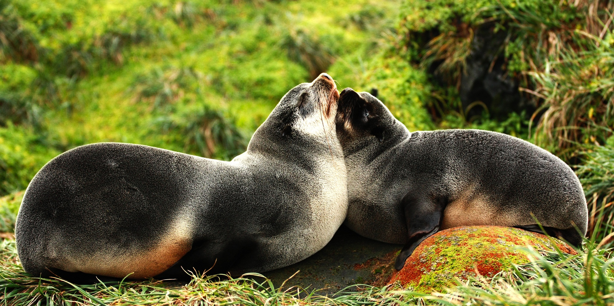 A Subantarctic fur seal mother and her pup (Picture: M. WEGE)