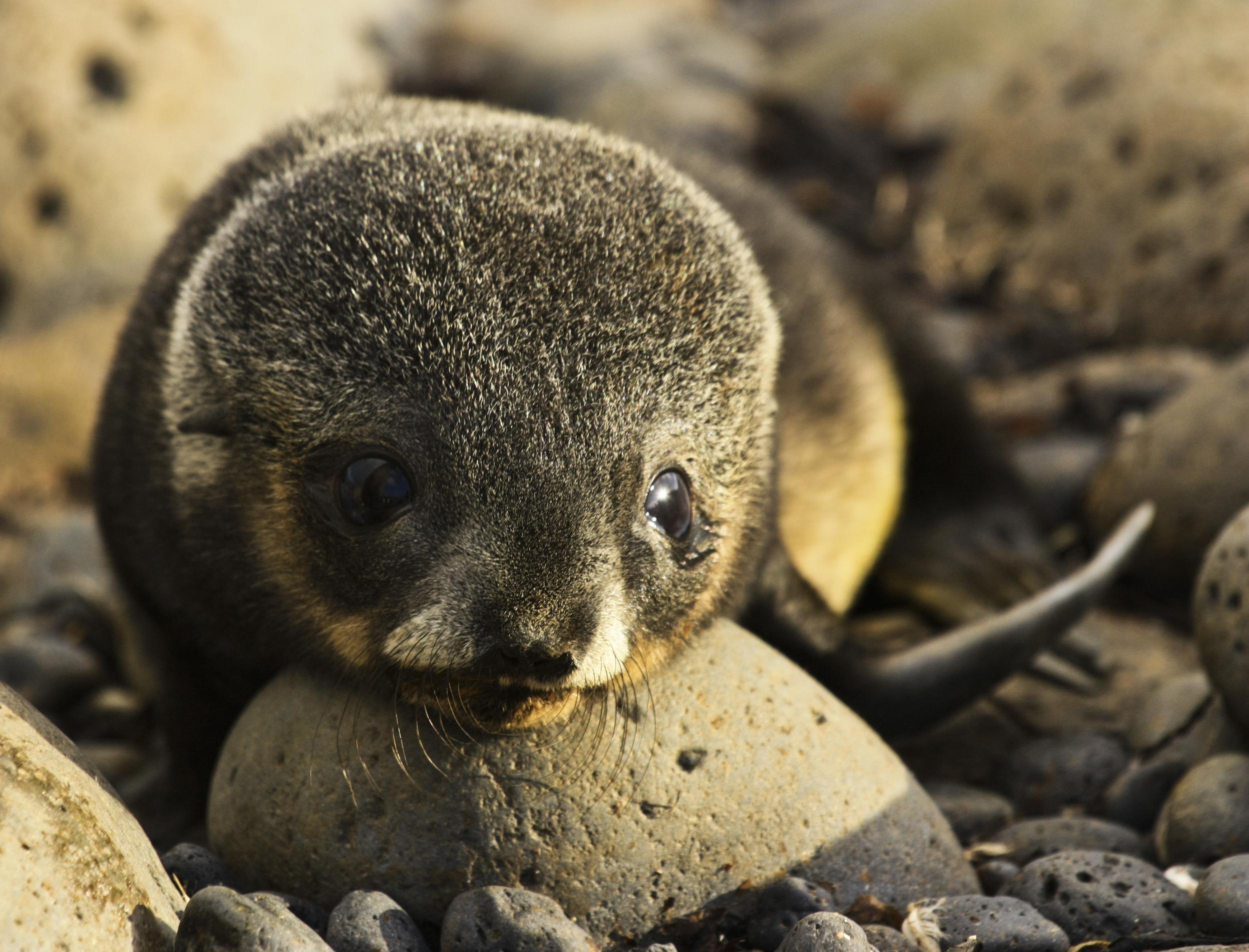 A 30 day old Antarctic fur seal pup