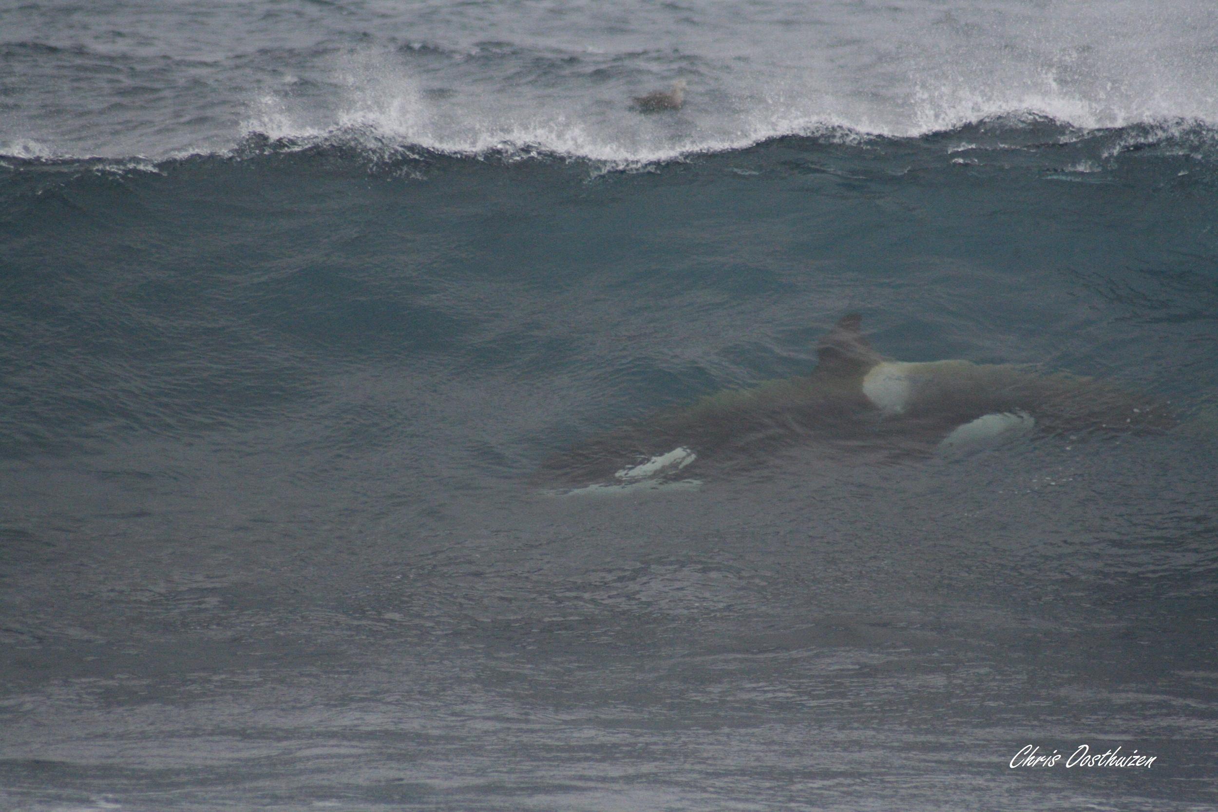 A wild killer whale at Subantarctic Marion Island. Photo: Chris Oosthuizen