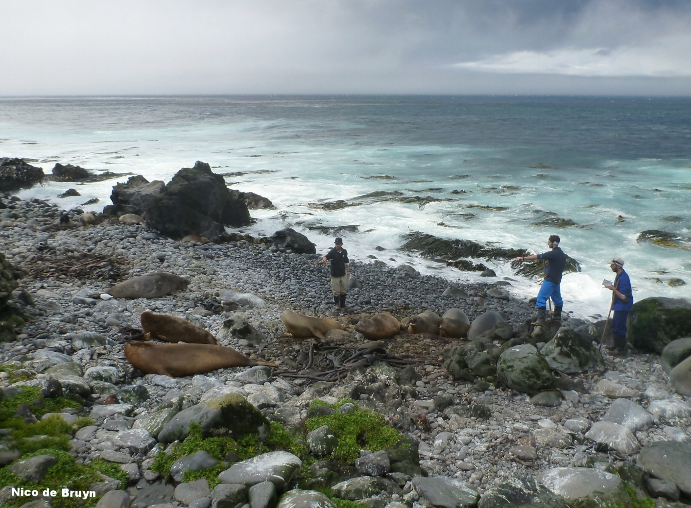 Southern elephant seal census, Marion Island. Photo: Nico de Bruyn