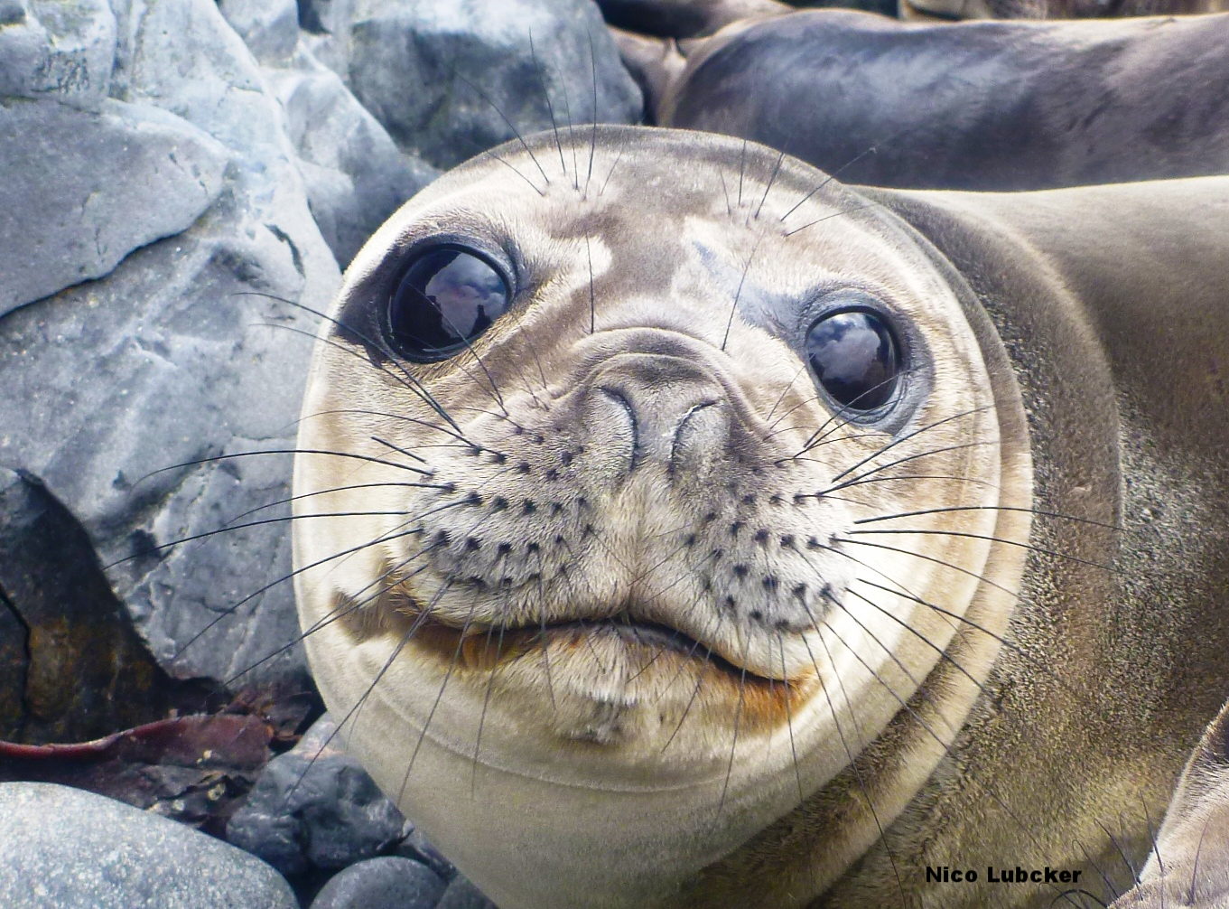 A southern elephant seal's whiskers can tell us what the animal ate, and when it did so! Photo: Nico Lübcker