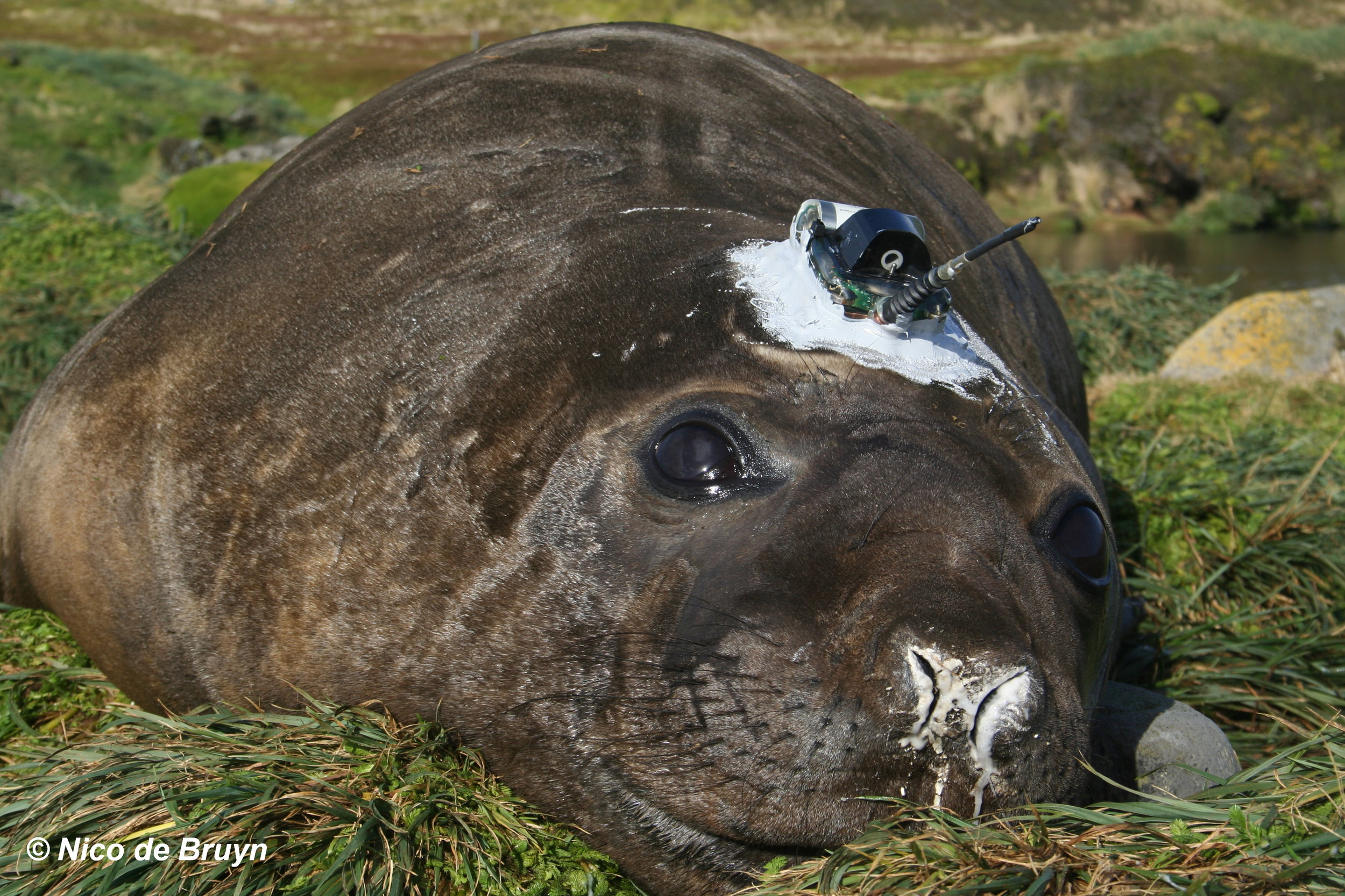 A young male southern elephant seal sporting a  SMRU tracking device . Photo: Nico de Bruyn
