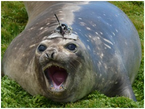 A CTD-SRDL device attached to a southern elephant seal on Marion Island