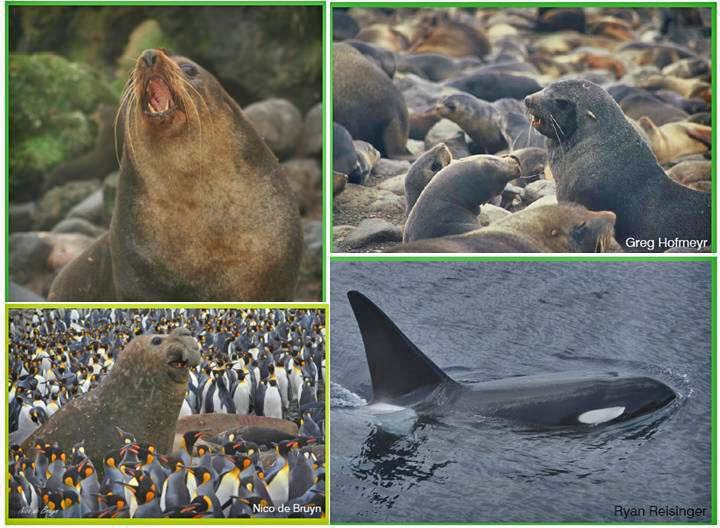 Figure 1: From top left going clockwise, the Subantarctic fur seal, Antarctic fur seal, Killer Whale and Southern Elephant Seal.
