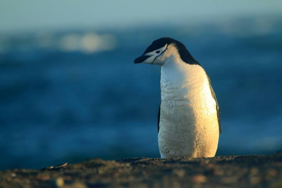 Chinstrap penguin (Chris Oosthuizen)