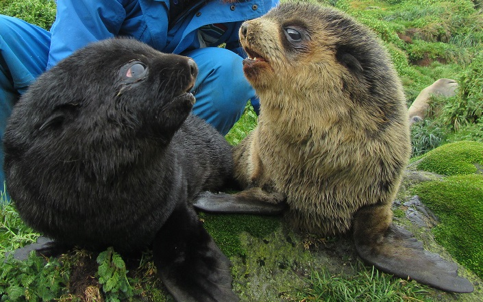 Anomalous lanugo coat in a sub-Antarctic fur seal ( Arctocephalus tropicalis ) pup (photographed next to a normal black pup) born at Cape Davis Sealers Beach on Marion Island during the austral summer of 2015/2016.  Photo credit: M. Mole
