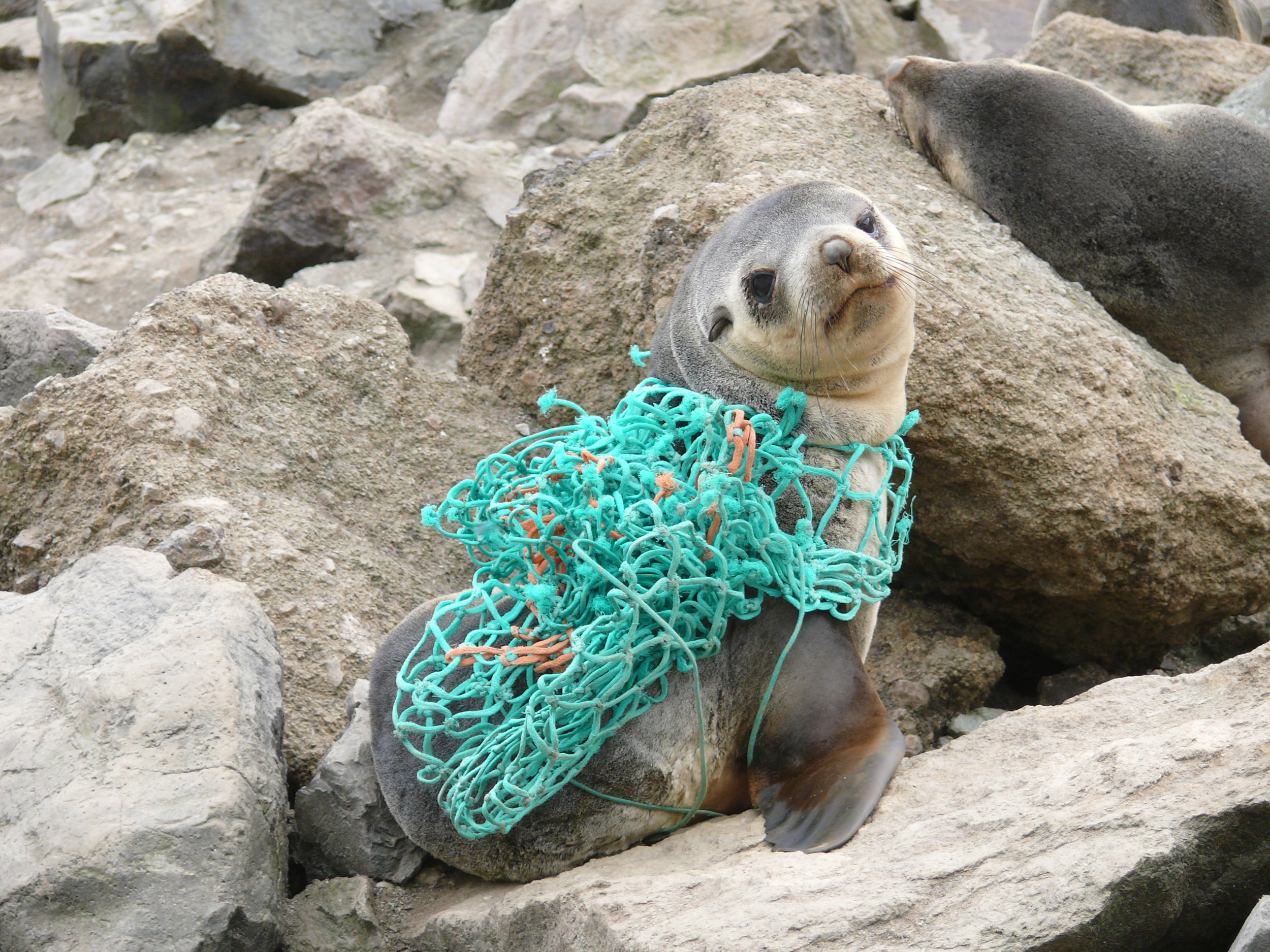 A young Antarctic fur seal entangled in fishing net at remote Bouvetoya in the Southern Ocean. Photo: Nico de Bruyn