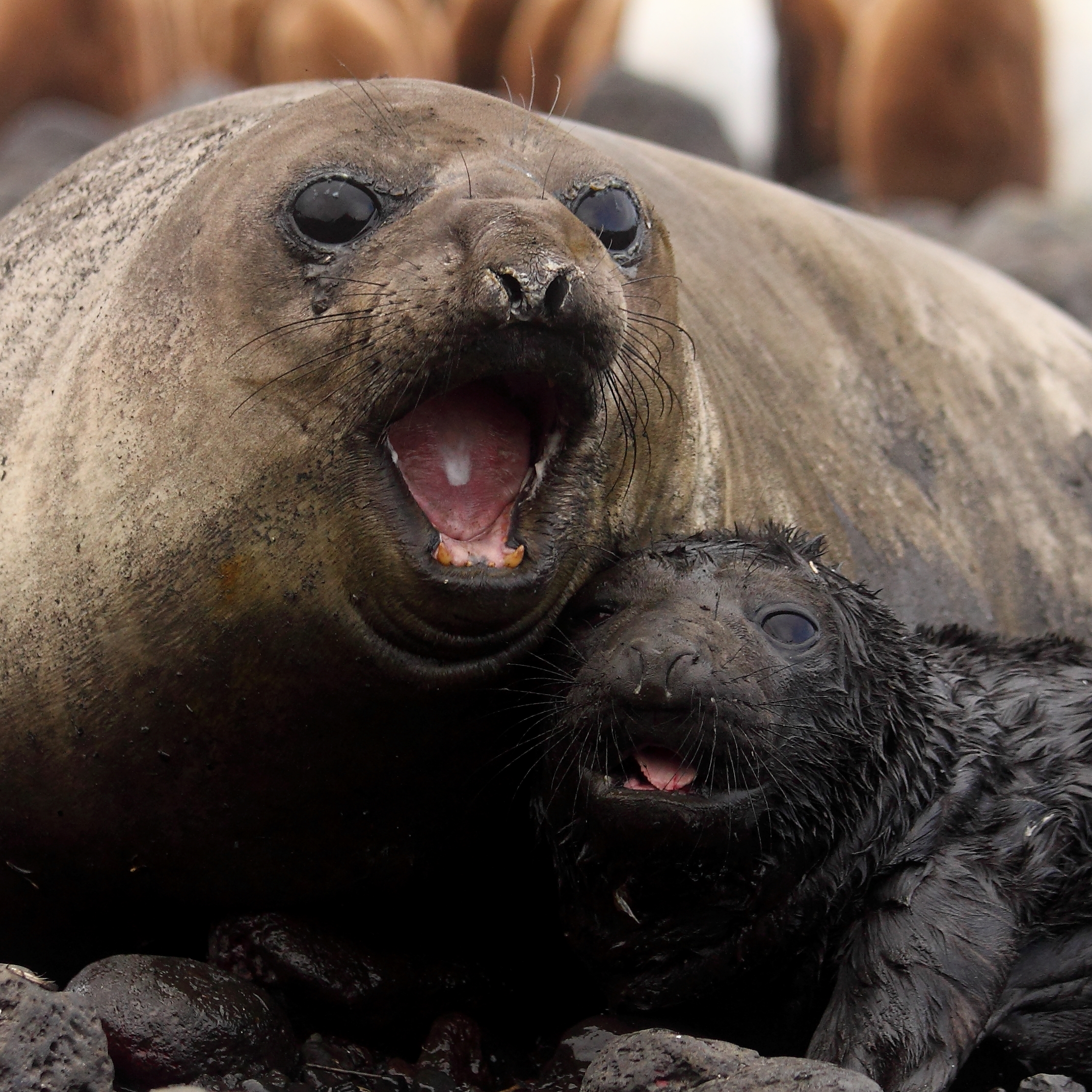 Southern elephant seal females have varying costs associated with breeding . Photo: Chris Oosthuizen