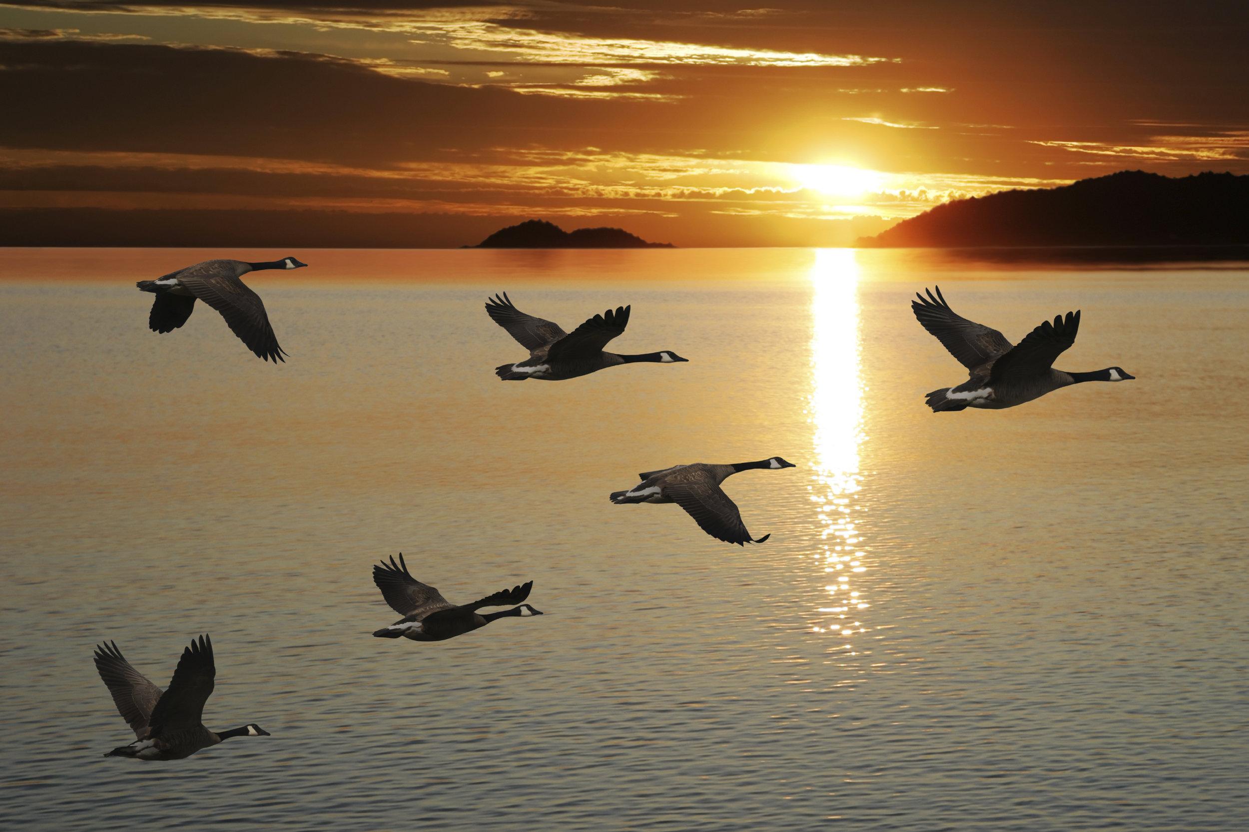 Migrating canada geese.jpg