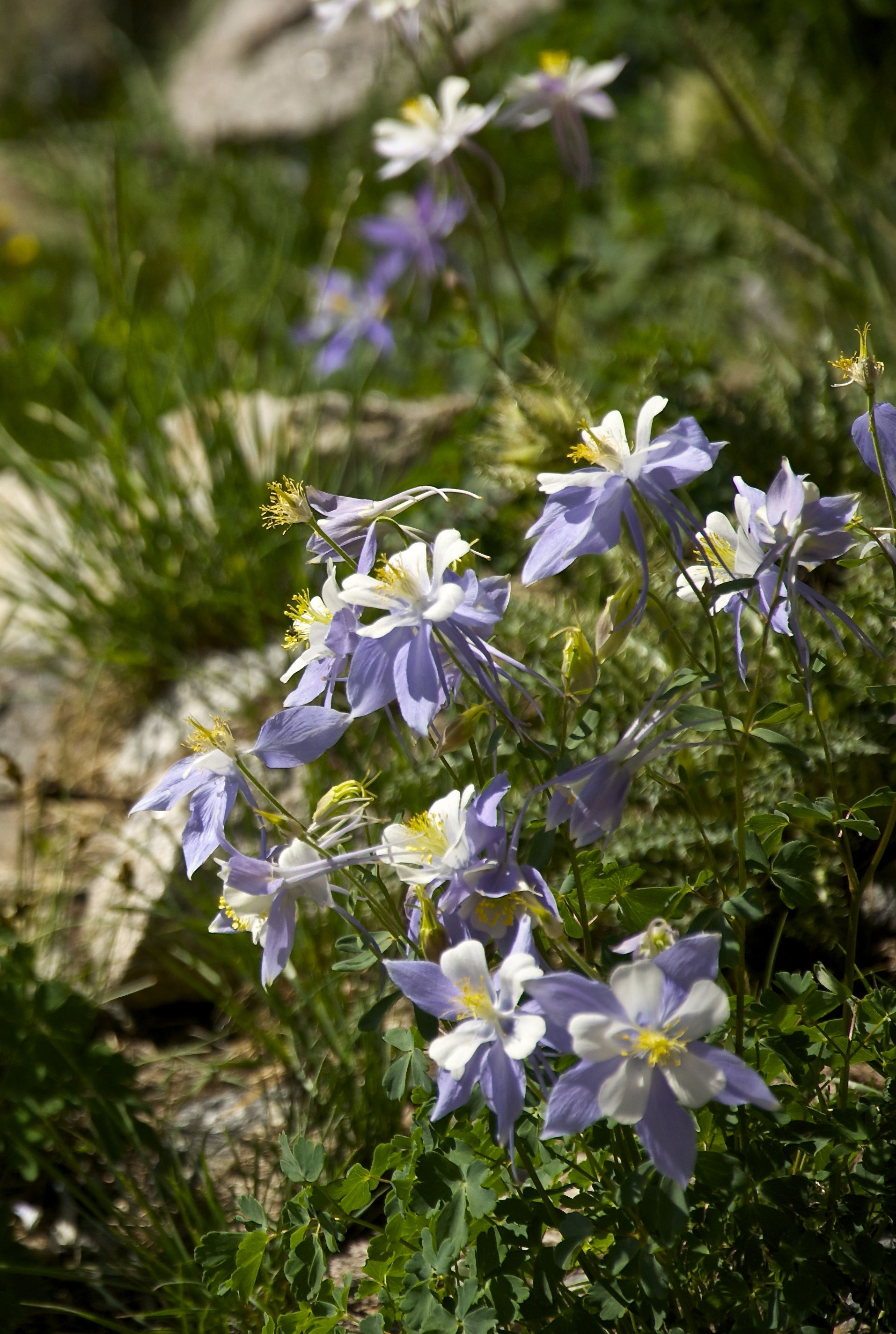 Columbine at about 11,500' near Chasm Lake