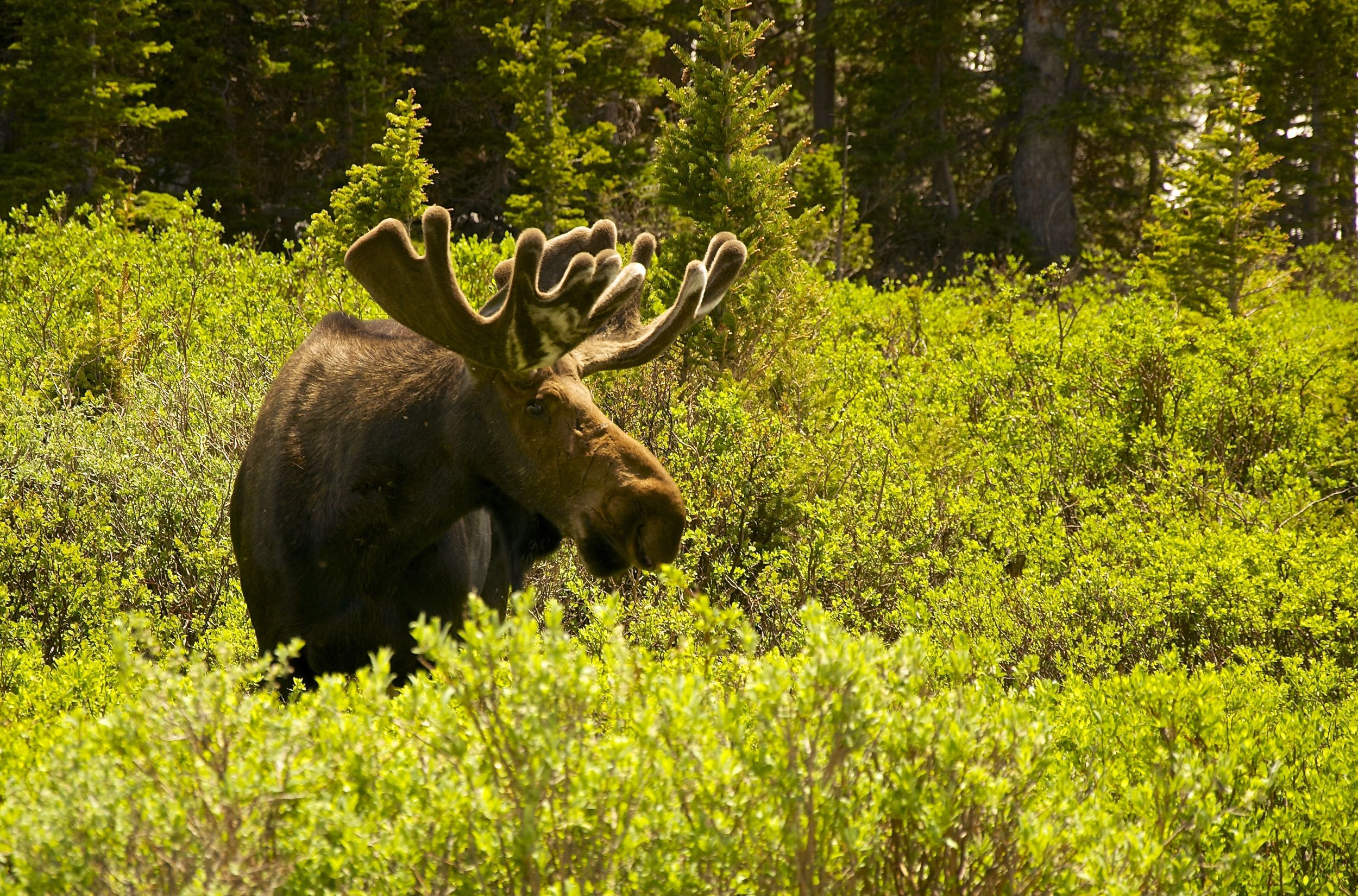 Brainard Lake Moose