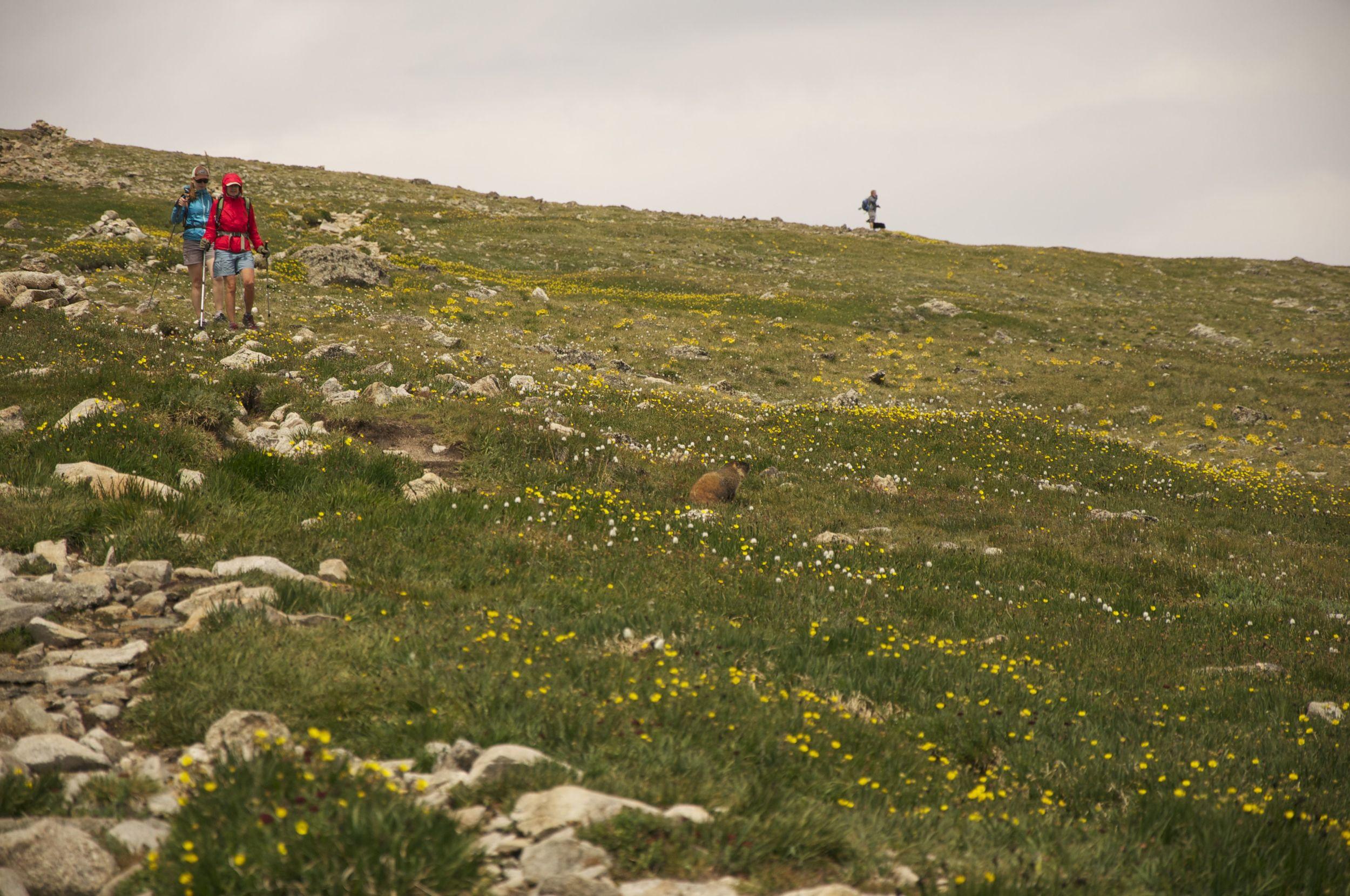 Marmot on Mt. Audubon Trail