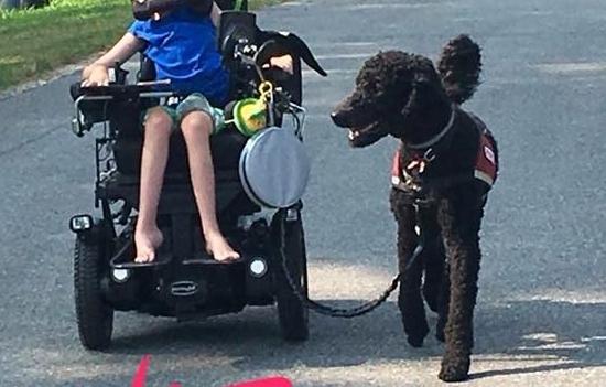 Ziggy (Luna x Roux) Assistance Dog trained through PAD