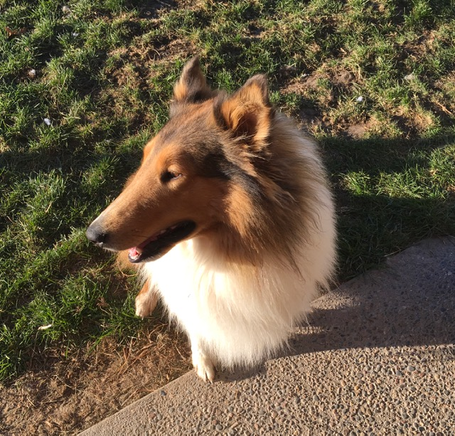 Sampson, Our resident Collie