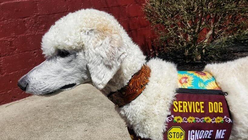 Pond, Service Dog    Luna x Indigo litter