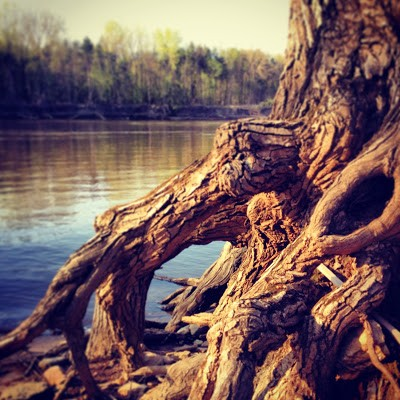 Exposed Cottonwood Roots on the Mississippi River at Fort Snelling State Park