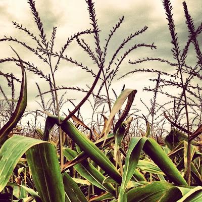 Can't escape corn fields even in Kilen Woods.