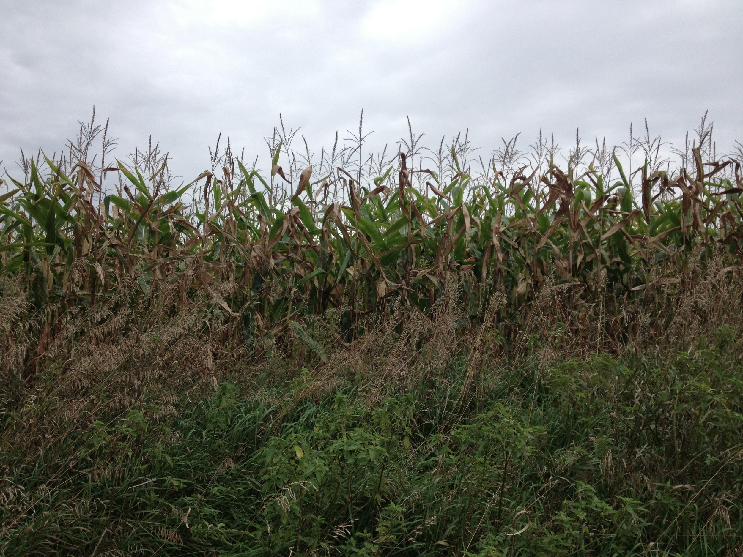 Corn at Kilen Woods State Park