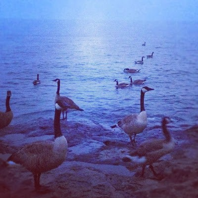 Canada Geese swimming in Lake Superior at Temperance River State Park