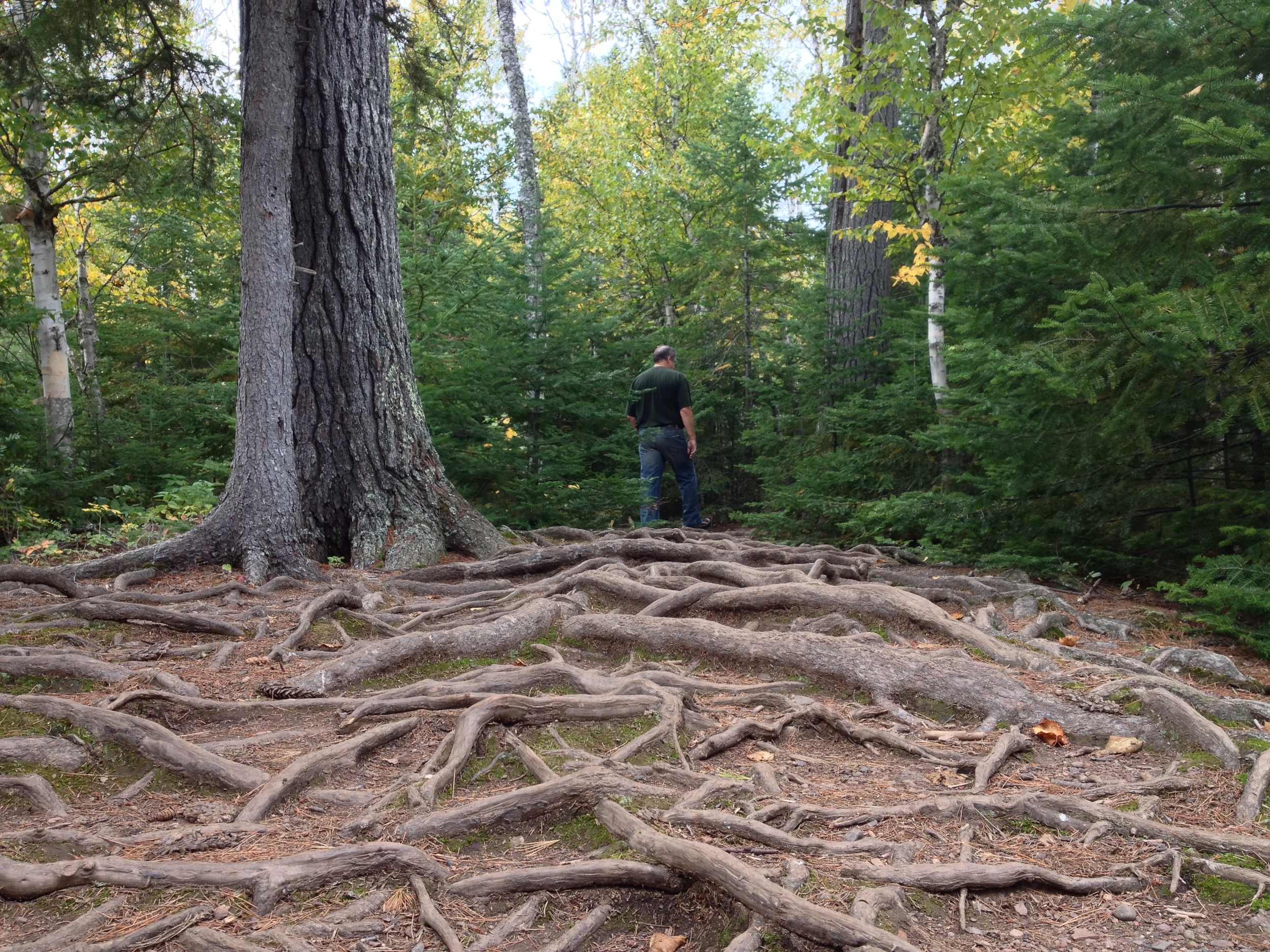 Don't trip on the roots at Cascade River State Park