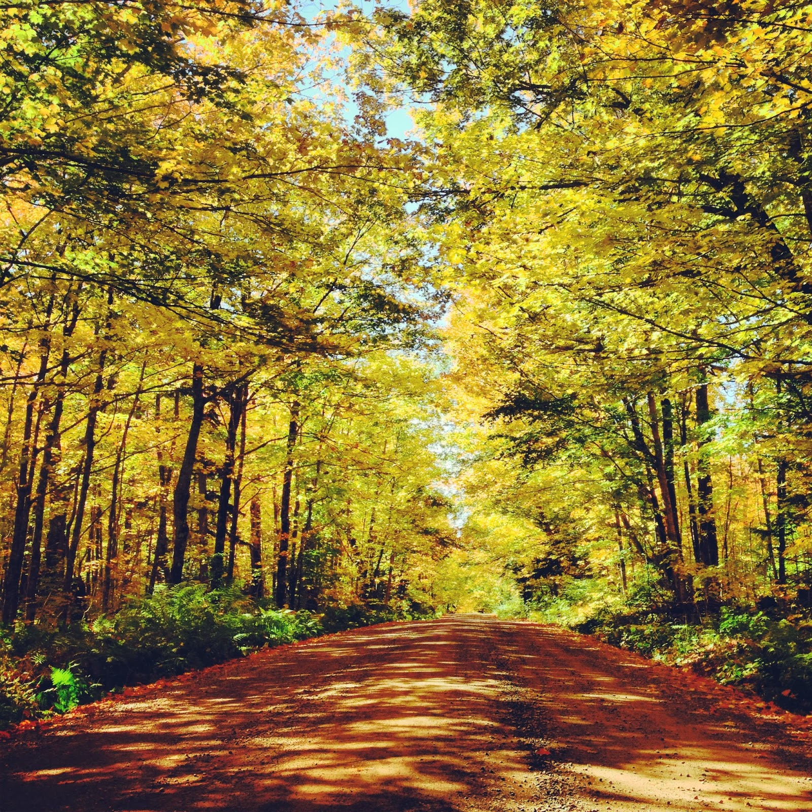 A canopy of gold on Superior National Forest's Fall Color Route.