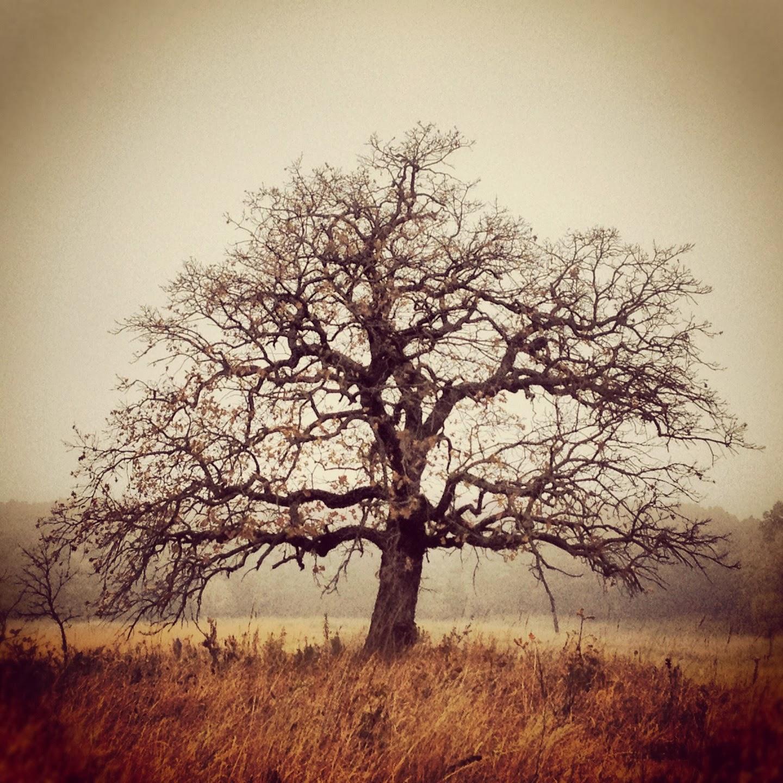 The Richardson Oak standing idyllically in the prairie in autumn.