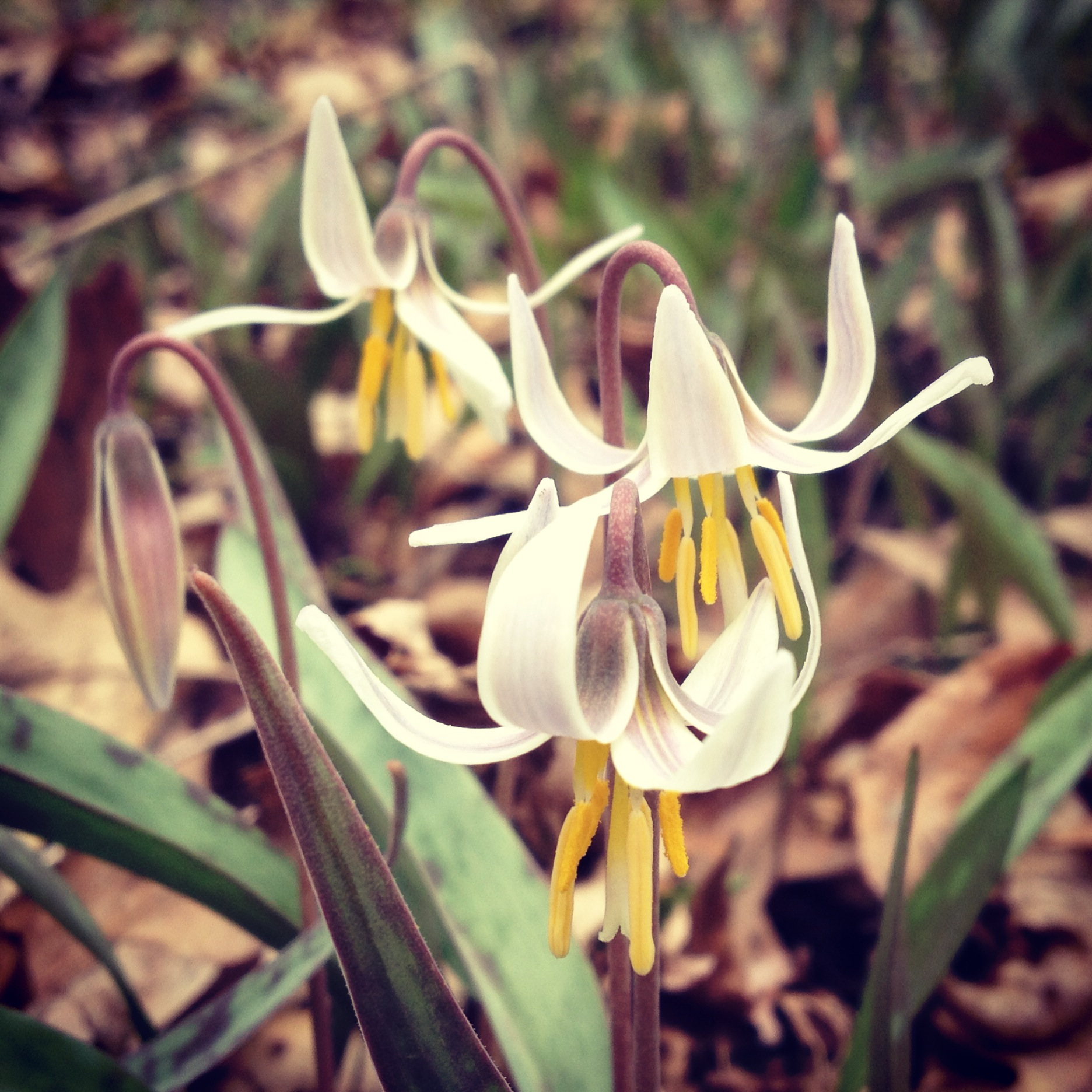 Trout Lilies at Interstate State Park