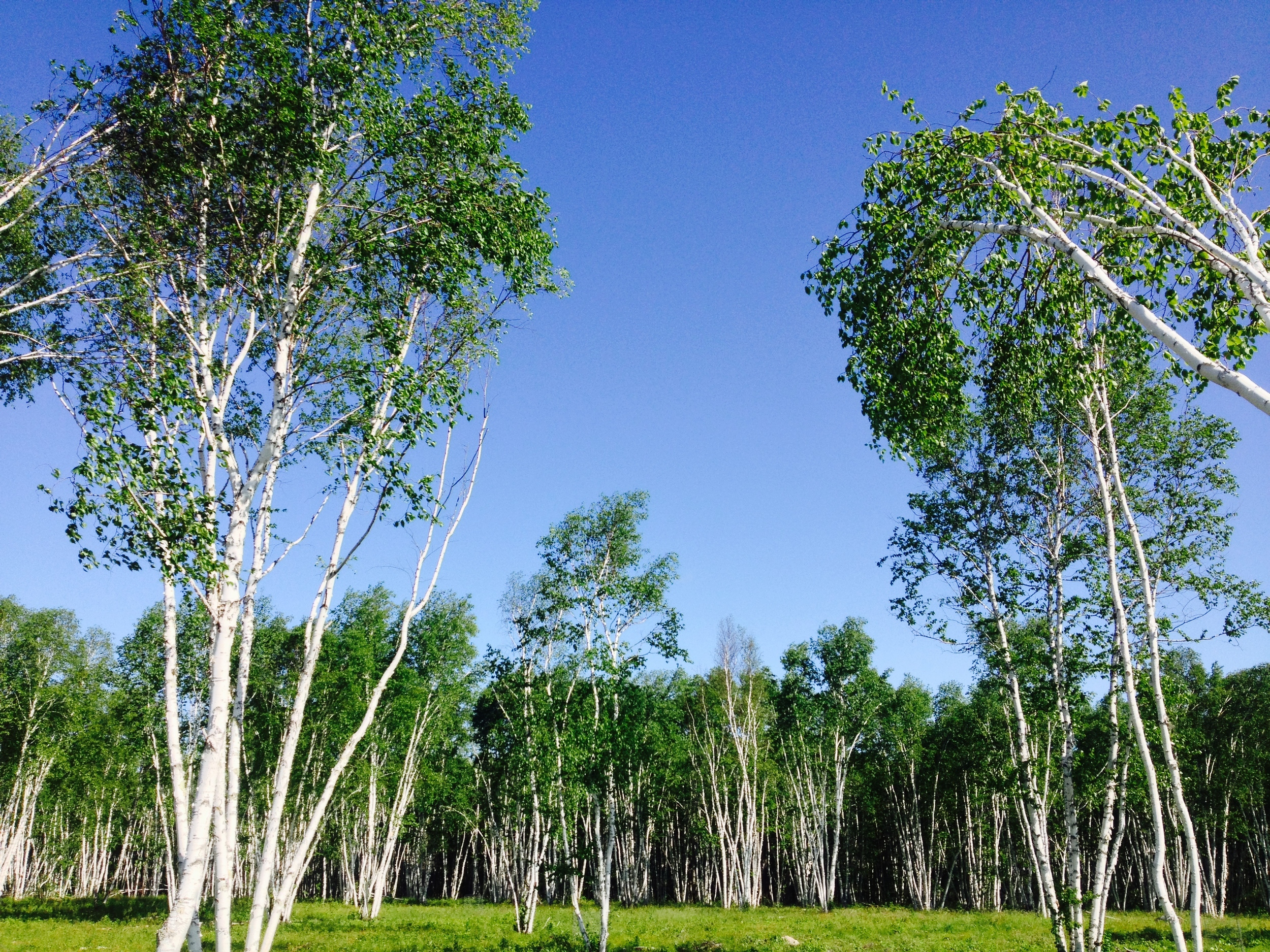 Birch Groves