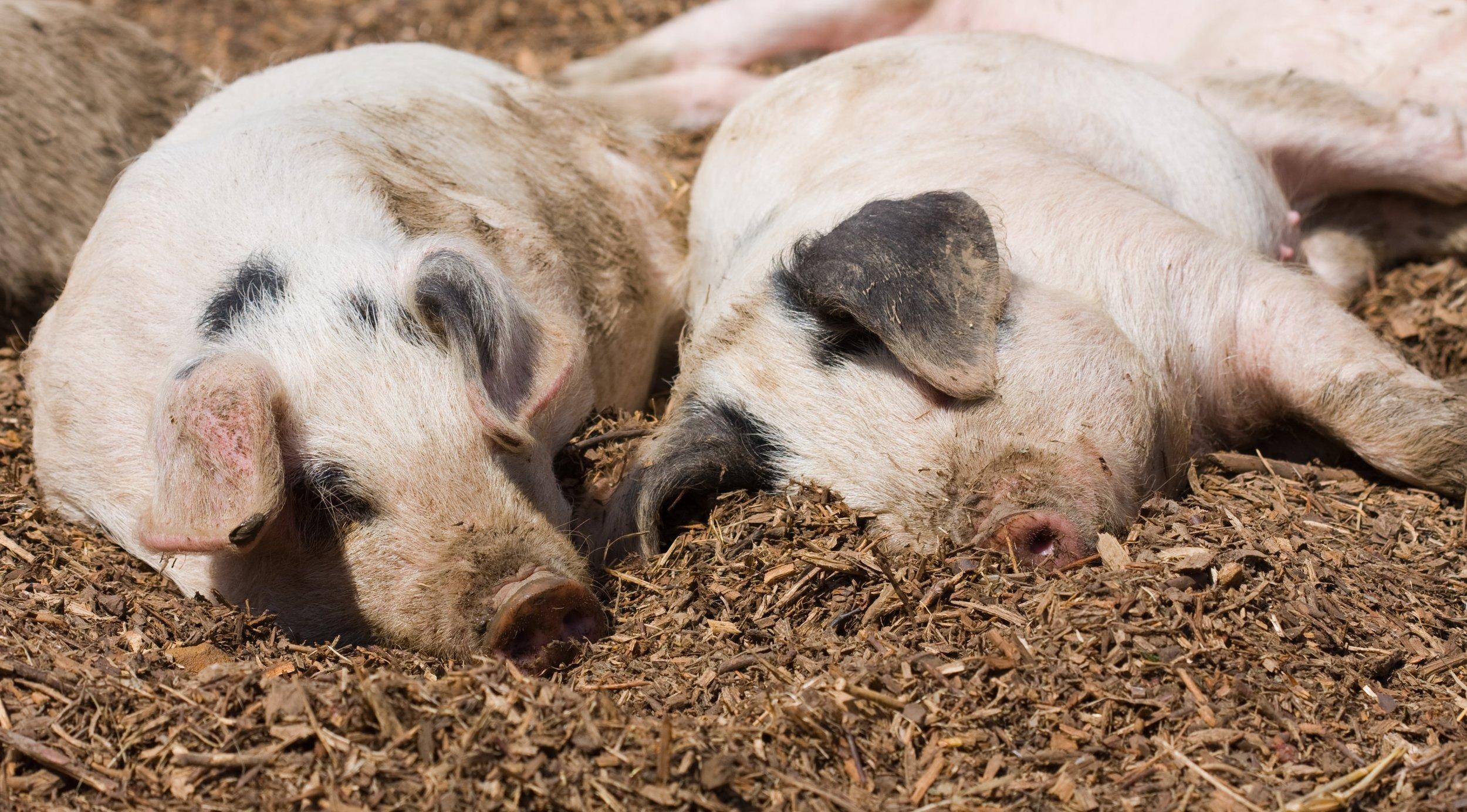 -absolutely_free_photos-original_photos-small-pigs-in-farm-3465x1918_82890.jpg
