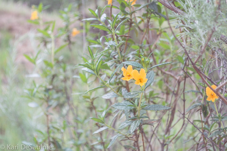 yellowbuttercups.jpg
