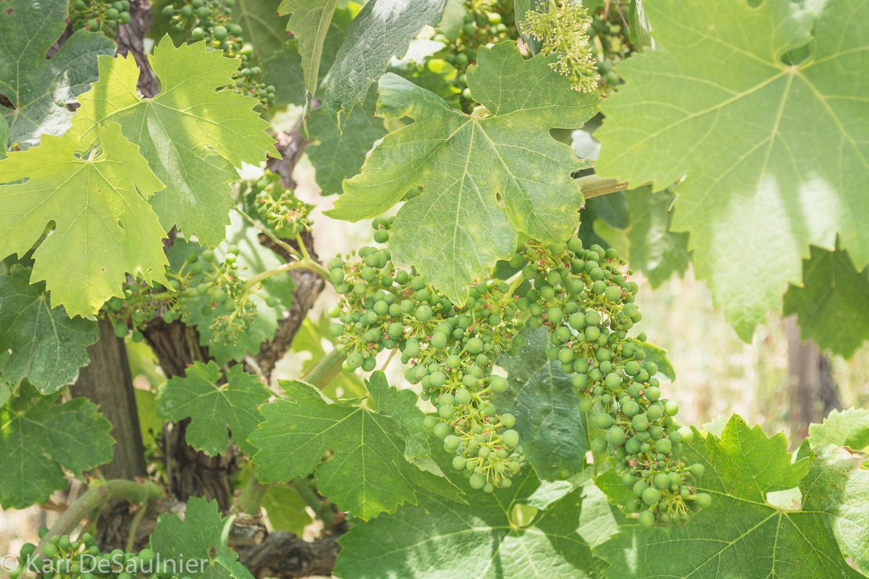 grapes_notripe.jpg