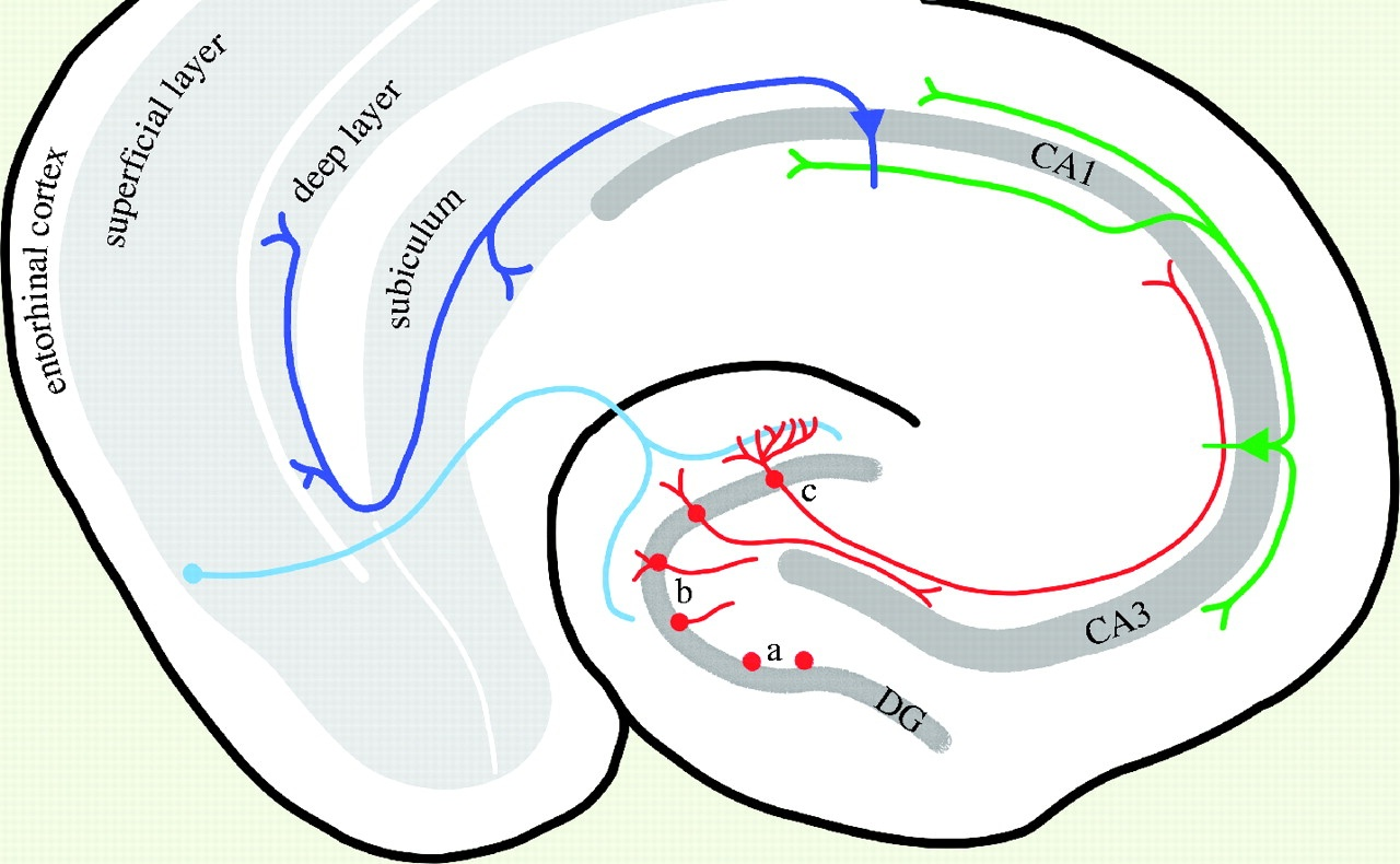 Information flows through the Hippocampal formation, from  quora.com